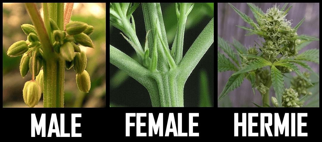 Feminizowane Nasiona Marihuany a Hermafrodyty, NasionkaCannabis